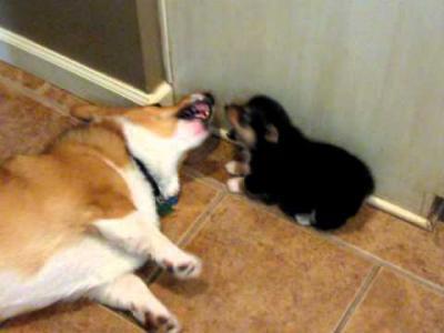 ถึงกับผงะ!! เมื่อหมาน้อยสู้หมาใหญ่ไม่ได้เลยตดอัดหน้า