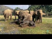 คลิปครอบครัวช้างกำลังทำไรเนี่ย ใจไม่ถึงห้ามดู