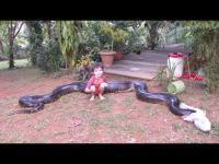 จับงูอนาคอนด้ายักษ์ ที่ไปสวาปามหมาของเพื่อนบ้าน