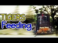 เสือ, ให้อาหารเสือ, เสือเบงกอ, สวนสัตว์, ซาฟารี, ซาฟารีเวิลด์, ซาฟารีเวิร์ล, saf