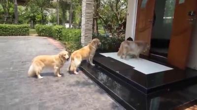 น่ารัก ! สุนัขโกลเด้นต่อแถว เช็ดเท้า ก่อนเข้าบ้าน