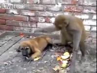 ลิง ทะเลาะกับ หมา
