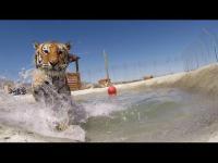 คลิป เมื่อเสือได้เล่นน้ำครั้งแรก หลังจากต้องทนทุกข์ทรมานในกรงมานาน ดูแล้วอมยิ้มแน่ๆ