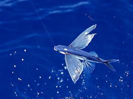 ปลาบิน เขาว่ามีมา 220 ล้านปีแล้ว