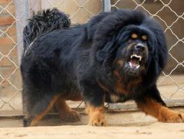 -- 7 อันดับสุนัขที่ดุที่สุดในโลก น่ากลัวมาก --