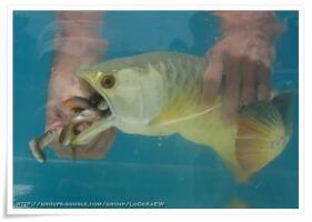 ปลาอโรวาน่า ออกลูก หรือ อมลูกนี่......
