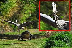 จรเข้- นกกระสา -โฉบ-สัญชาตญาณ