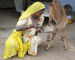หญิงอินเดียให้นมลูกวัว