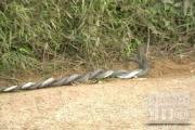 ฮือฮา คลิป งูยักษ์ ผสมพันธุ์ ที่ พังงา