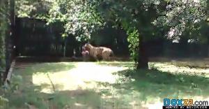 คลิปเสือโคร่งกัดคน ตายสยองคากรงสวนสัตว์