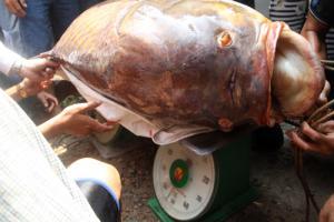 ชายเวียดนามจับปลากระโห้ยักษ์ หนักกว่า 130 กก. ขายได้ถึง 3 แสน