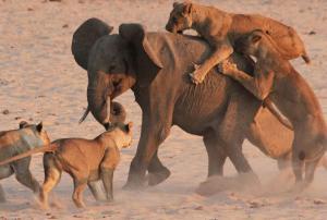 ไปดูกันว่าช้างตัวนี้ จะเอาชีวิตรอดจากสิงโตทั้ง 14 ตัว ได้หรือไม่!?