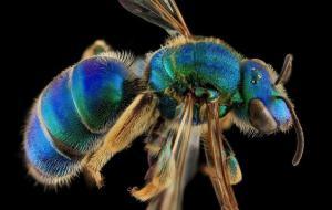 ภาพ มาโคร ระยะใกล้ ของ ผึ้ง