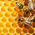 สมควร...หนุ่มพิเรนทร์ฉี่ใส่รังผึ้ง ถูกผึ้งรุมกัด