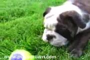 Funny Bulldog Puppies Puppytown.