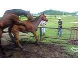 ม้า ผสมพันธุ์ หาดูยาก