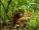 คลิป ลิงกะเสืองานนี้มีแต่ ฮากะฮา