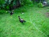 ไก่ตี ลูกไก่ตีกัน