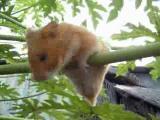 คลิป หนู Hamster ปีน กิ่งไม้ เสียว ตก สัตว์ น่ารัก