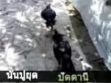 ไก่ ชน ใต้ ปัตตานี Mv บัวขาว