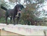 สุนัขไทยแสนรู้  สังเกตุการณ์ บนกำแพง  เฝ้ายาม ยิ้มยิงฟัน เจ้าตูบดำ