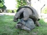 เต่า สัตว์ เสียงร้อง ผสมพันธุ์ Giant Tortoises Sex