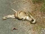 งู กิน กลืน จิงโจ้ Snake Kangaroo