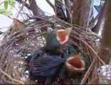 คลิป ลูกนก ความรู้ เรื่องนก ทำรัง รังนก น่ารัก น่าสงสาร