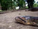 คลิป งูใหญ่