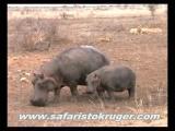 สิงโต ฮิปโป ฮิปโปโปเตมัส สัตว์ สิงโตกินฮิปโป ล่า กิน ฆ่า Kruger Lions Kill Hippo