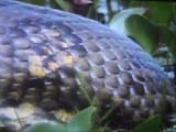 คลิป งู ยักษ์ อานาคอนดา