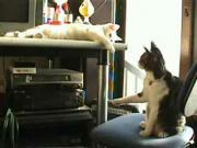 คลิป แมว 2 เมี๊ยวเล่นกัน