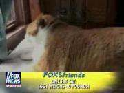 คลิป แมว แมวอ้วน แมวโคดดดอ้วน เดินได้ด้วย!!