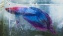 คลิป สืบ สาน พันธุ์ ปลา กัด ไทย