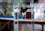 คลิป ปลากัด
