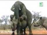 แรด ช้าง สัตว์ ผสมพันธุ์ อึ๊บ ช้างป่า