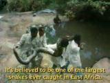 นักล่างูแห่ง African