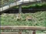 คลิป เสือ สิงโต สุนัข อยู่กรงเดียวกัน