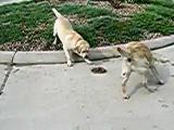 คลิป Dogs vs. Snake หมา vs. งู สัตว์