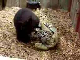 คลิป เคยเห็นรึเปล่าเมื่อ หมี กับ เสือ อยู่ด้วยกัน น่ารักดีเนอะ^-^