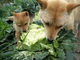 คลิป น้องหมา มังสวิรัติ กินกะหล่ำปลี กันอย่างเมามันส์