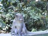 ลิง ผสมพันธุ์ ฮาๆ ขำขำ ทะลึ่ง sex  Monkey style