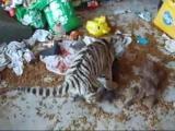 คลิป เสือ VS แมว คลิปตลก ฮาฮา ขำขำ
