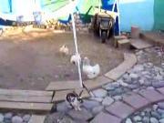 สัตว์ ไก่ กระต่าย มวย ตีกัน