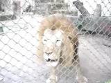 สิงโต กลายเป็นสุนัข เมื่อเจอฤทธิเดช น้ำอัดลม