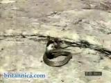 คลิป งู ปะทะ พังพอน