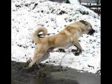 Kangal Dog สุนัขตุรกี