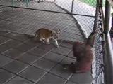 เสือโคร่ง ลิงอุรังอุตัง