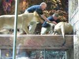 สิงโตขย้ำ หมั่นไส้ คนฝึก  สิงโต หวาดเสียว โมโห สัตว์ป่า นาทีชีวิต