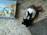 แมว กระต่าย ข่มขืน เพศสัมพันธ์